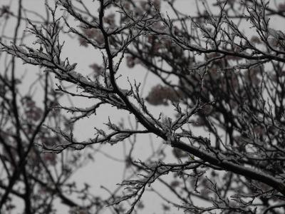 20200329横浜市都筑区荏田東の松葉公園。雪の桜の枝