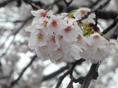 20200329横浜市都筑区荏田東の松葉公園。雪の桜