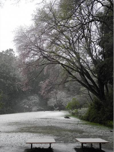 20200329横浜市都筑区荏田東の鴨池公園。雪の桜