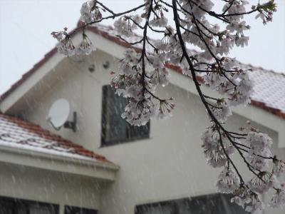 20200329横浜市都筑区荏田東の鴨井家公園脇。雪の桜