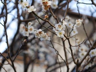 横浜市都筑区荏田東の梅の花